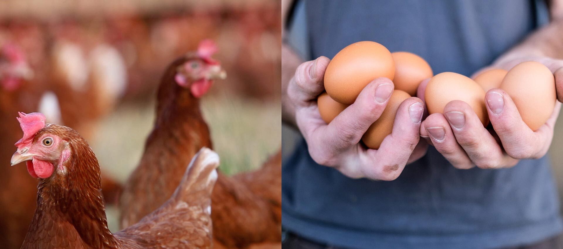 Lockwood Farms chicken and the eggs